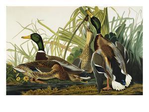 Mallard Duck. Mallard (Anas Platyrhynchos), Plate Ccxxi, from 'The Birds of America' by John James Audubon