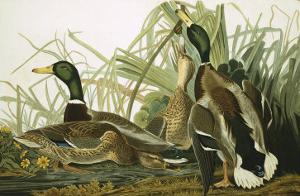 Mallard Duck, Plate CCXXI, Aquatint with Engraving and Hand-Colouring, on J. Whatman, 1831 by John James Audubon