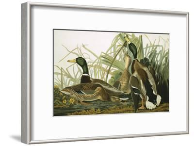Mallard Duck, Plate CCXXI, Aquatint with Engraving and Hand-Colouring, on J. Whatman, 1831