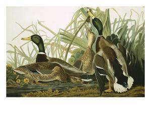 Mallard Duck, Plate CCXXI, Aquatint with Engraving and Hand-Colouring, on J. Whatman, 1831 by John James Audubon