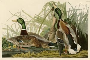 Mallard Duck by John James Audubon