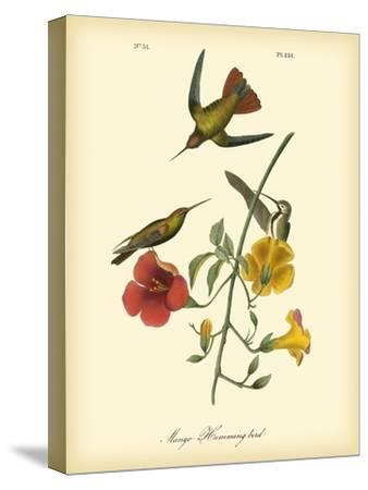 Mango Hummingbird