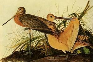 Marbled Godwits by John James Audubon