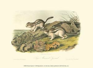 Marmot Squirrel by John James Audubon
