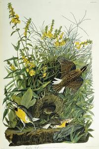 Meadow Lark, 1832 by John James Audubon