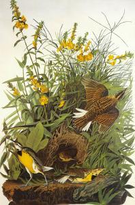 Meadow Lark by John James Audubon
