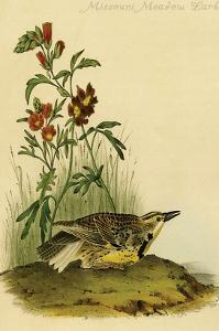 Missouri Meadow Lark by John James Audubon