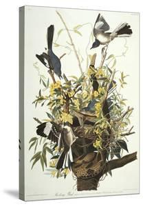 Mocking Bird. Northern Mockingbird (Mimus Polyglottos), Plate Xxi, from 'The Birds of America' by John James Audubon