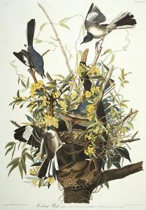 Mocking Bird. Northern Mockingbird (Mimus Polyglottos), Plate Xxi, from 'The Birds of America' by John James Audubon