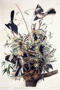 Mocking Bird by John James Audubon