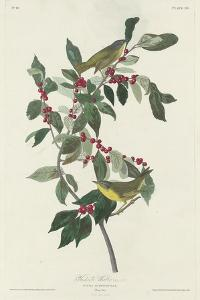 Nashville Warbler, 1830 by John James Audubon
