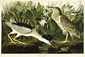 Night Heron or Lua Bird, 1835 by John James Audubon