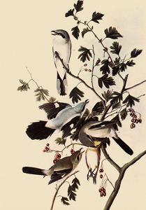 Northern Shrikes by John James Audubon
