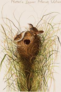 Nuttal's Lesser Marsh Wren by John James Audubon