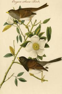 Oregon Snow Bird by John James Audubon