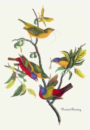 Painted Bunting by John James Audubon