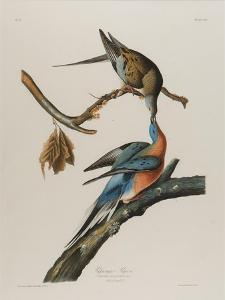 Passenger Pigeon, 1827-1838 by John James Audubon