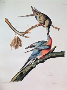 Passenger Pigeon, from 'Birds of America' by John James Audubon