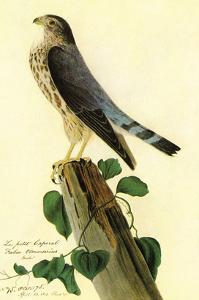 Pigeon Hawk by John James Audubon