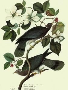 Pigeons in Dogwood by John James Audubon