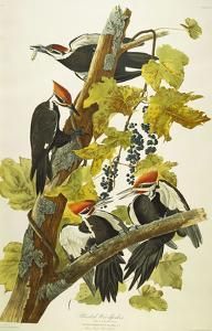 Pileated Woodpecker (Dryocopus Pileatus), Plate Cxi, from 'The Birds of America' by John James Audubon