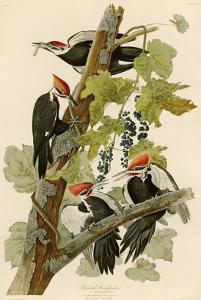 Pileated Woodpecker by John James Audubon