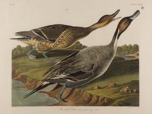Pin Tailed Duck, 1834 by John James Audubon