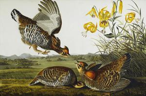 Pinnated Grouse. Greater Prairie Chicken (Tympanuchus Cupido), from 'The Birds of America' by John James Audubon
