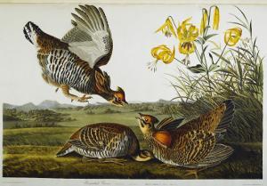 Pinnated Grouse. Greater Prairie Chicken by John James Audubon