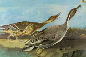 Pintail by John James Audubon
