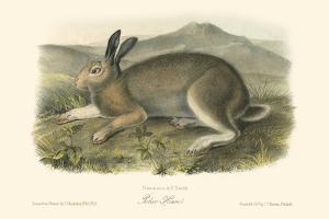 Polar Hare by John James Audubon