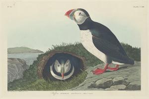 Puffin, 1834 by John James Audubon