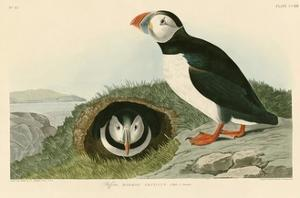 Puffin by John James Audubon