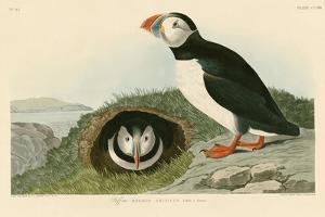 Puffin by John James Audubon