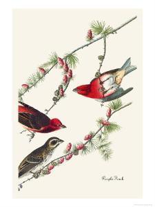 Purple Finch by John James Audubon