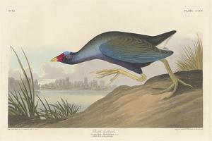 Purple gallinule, 1836 by John James Audubon