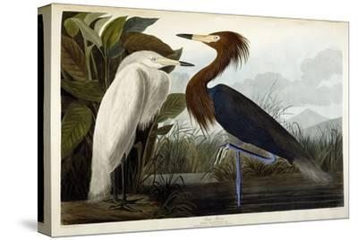 Purple Heron, C.1835