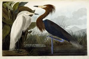 Purple Heron, C.1835 by John James Audubon