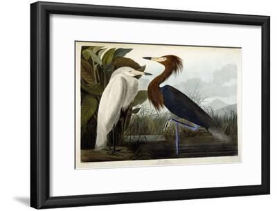 Purple Heron, C.1835