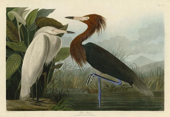 john-james-audubon-purple-heron