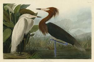 Purple Heron by John James Audubon