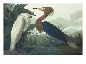 Purple Heron by John James Audubon