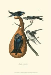 Purple Martin by John James Audubon