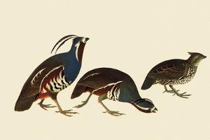 Quail and Bobwhite by John James Audubon