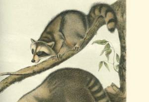 Racoon by John James Audubon