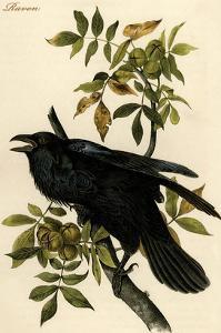 Raven by John James Audubon