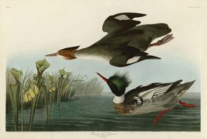 Red Breasted Merganser by John James Audubon