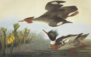 Red-Breasted Merganser by John James Audubon