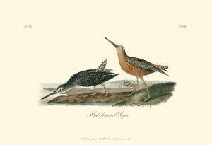 Red-Breasted Snipe by John James Audubon