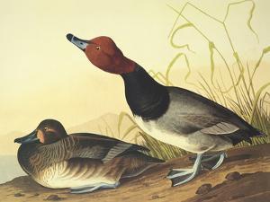 Red-Headed Duck by John James Audubon